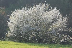 Cerezo florecido en el lugar de mi aldea, cerca de casa / Aceytuno