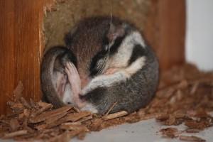 Lirón careto (Eliomys quercinus)  hibernando en la alacena el 29-12-2012/ Aceytuno