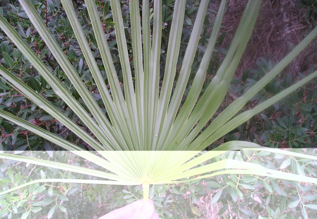 13:40 h El palmito, y su sistema de captación de agua, observado, fotografiado y perfectamente descrito por un lector.
