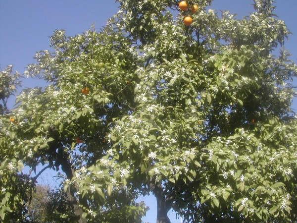 8:53 h Naranjo con el primer azahar y las últimas naranjas en el Paseo de la Palmera de Sevilla, cuya foto envía un lector.