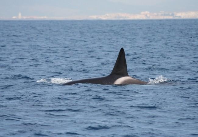 Orca con Tarifa al fondo