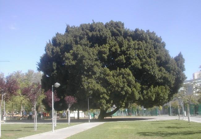 Ficus del Parque de la Pirotécnia, en Sevilla, con una diminuta persona caminando bajo su sombra. Observa el lector la importancia que para algunos árboles ha tenido crecer al abrigo de los militares o de los monjes.