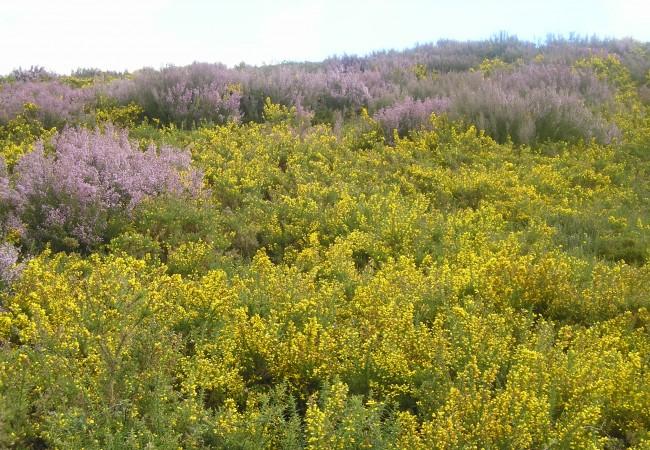 9:20 h Fotografía realizada esta Semana Santa en los montes de Lugo, donde están plenamente florecidos de amarillo los tojos, y de malvas los brezos.