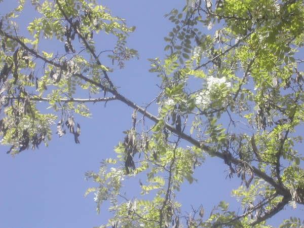 10:14h   Las acacias, tan habituales en los paseos de las ciuades, han florecido cuando todavía conservan las legumbres del año pasado, según apunta el lector autor de esta fotografía.