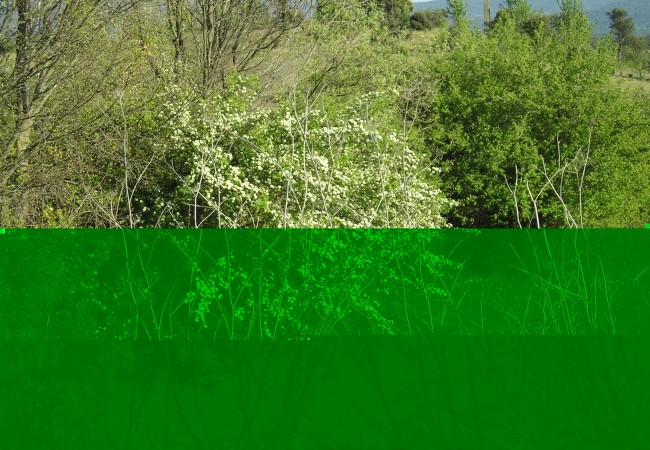 15:O1  Están florecidos los espinos blancos de los que escribió Proust cuando buscaba el tiempo perdido. Un lector nos envía la fotografía recién hecha en el campo.