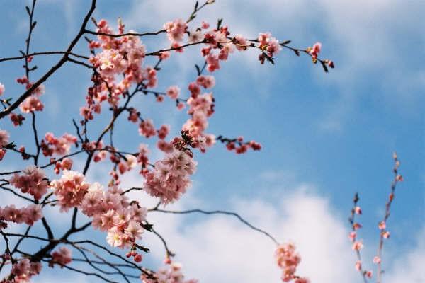 7:59  Rama de cerezo florecida en Estocolmo, con haikú de regalo…