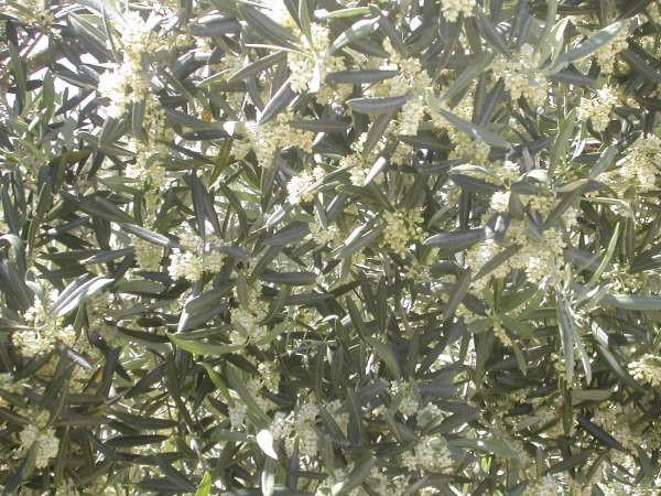 10: 32  Magnífica es la floración este año del olivo, como prueba la fotografía de portada de hoy, recién enviada por un lector olivarero y agricultor, cuya carta colgaremos en unos minutos en el TABLÓN DE LOS LECTORES…