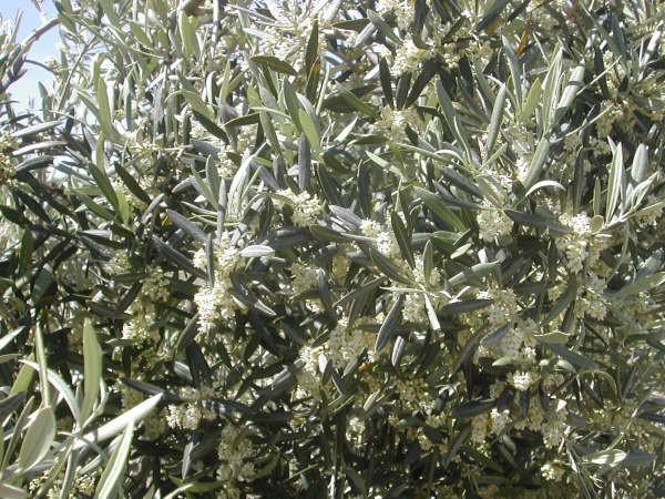 11:15  En sus cincuenta años de olivarero, no había visto una floración como la de este año el lector que nos escribe y al que le damos las gracias por fotografíar y contarnos lo que sabe del campo…