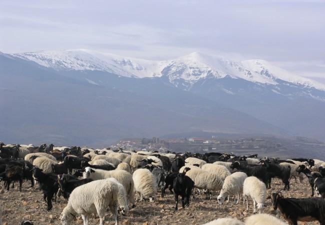 12:45  Cabra Moncaína y oveja Churra Tensina con el Moncayo al fondo.