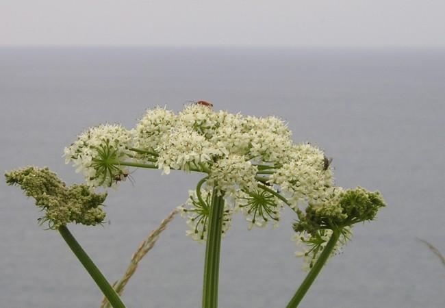 8:49 Hinojo en flor en las costas de Asturias con el Cantábrico al fondo….