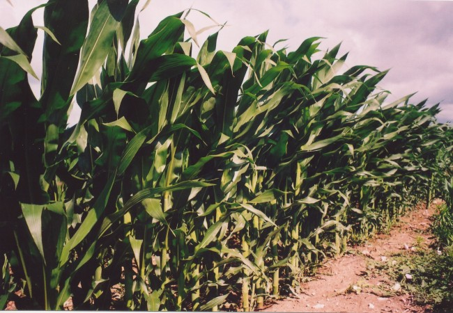 8:56  Un lector agricultor nos cuenta sus recuerdos, tan preciosos y precisos, sobre el maíz y sus hojas y las mazorcas…