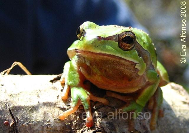 8:57 Rana de San Antón fotografíada hace unos días por Eva Alfonso que nos trae hoy en ACTUALIDAD NATURAL una información muy completa sobre esta rana que además de verde, puede ser azulada…