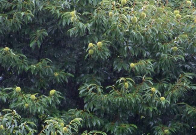 """9:31  Espero que ampliando en """"leer más"""" se vea la lluvia que está cayendo ahora mismo y que acabo de fotografiar haciendo una cortina de agua sobre los castaños cuajados de esos erizos verdes que albergan las castañas…"""