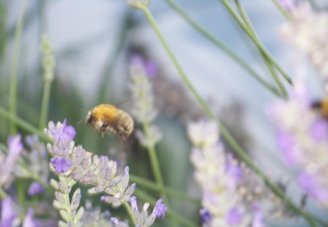 9:36 También con el sol de ayer, un sol espléndido de domingo de septiembre, al olor y al néctar de las últimas flores de la lavanda, vinieron mariposas blancas de la col, y los últimos abejorros de las piedras….