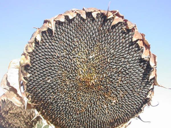 9:40  Se han obtenido este año grandes cabezas de girasol, por la abundancia de lluvias en primavera…