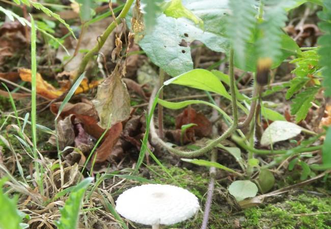 14:12  Acabo de fotografíar a esta seta blanca y pequeña como un salero. Tiene el sombrero lleno de escamas, y la blancura de los hongos sin pigmentos…