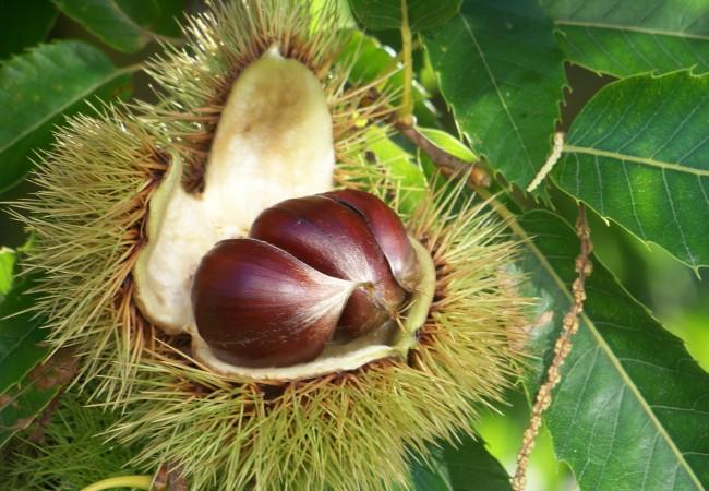 19:03 Buenas tardes. Acabo de llegar a casa y lo primero que me he encontrado es un día precioso, y a los castaños con el fruto en la rama abierto…