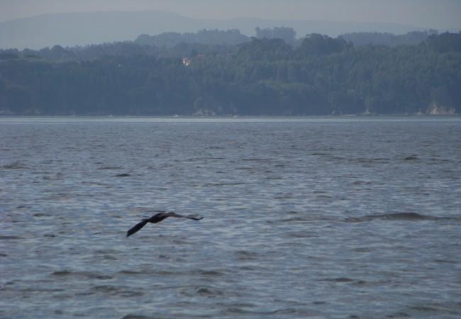17:42  Se puede distinguir desde muy lejos a un cormorán en vuelo porque vuela como ninguna otra ave marina, en perfecta horizontal, a toda velocidad, las alas casi tocando el agua con la punta cada vez que bajan….