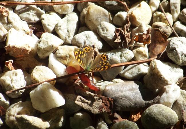 """17:23  Un inciso en este soleado fin de semana para enseñar a esta mariposa """"saltacercas"""" hace unos minutos bebiendo el mosto de una uva al sol abierta…"""
