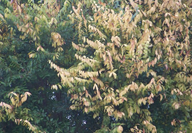 8 y 36 minutos del Lunes 13 de Octubre de 2008   Las hojas del olmo que está a mi izquierda se ven así desde hace sólo unos días y sin embargo se suele empezar a escribir del otoño antes…