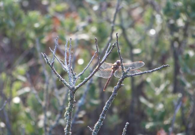 """17 y 34 del Lunes 20 de Octubre de 2008  Buenas tardes. Si se amplia pinchando sobre la fotografía en """"leer más"""", se aprecian las manchas rojas que tiene esta libélula en el extremo de las alas transparentes."""