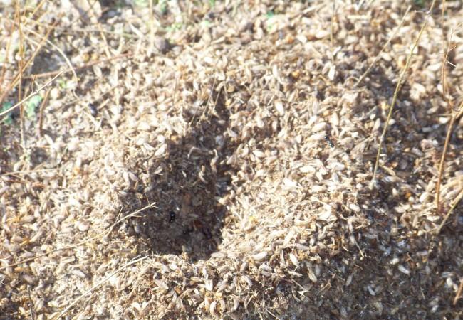 10 y 14 del Martes 21 de Octubre de 2008  Acabo de hablar con Antonio Morcuende Bachiller para preguntarle por estos cráteres de cáscaras de semillas que están haciendo las hormigas entre las encinas de Toledo.