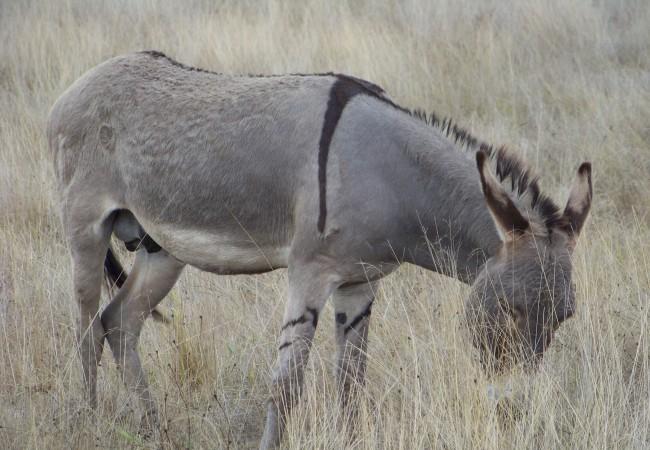 Aunque aquí nos ocupamos de la fauna silvestre, no deja de parecer una cebra, este burro que pasta en Oropesa, digno de Juan Ramón Jiménez.