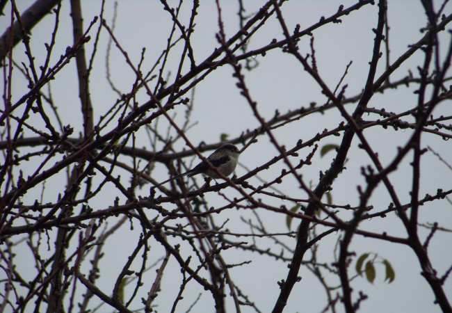 10 y 2 minutos del Lunes 27 de Octubre de 2008  Buenos y lluviosos días. Este pájaro colilargo y diminuto de la fotografía, y que estaba hace un momento aguantando, empapado, la lluvia, es un Mito: Aegithalos caudatus.