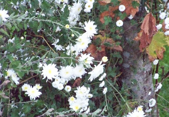 18:37 Acabo de ver, mientras daba un paseo, a los crisantemos preparados ya para cortar en difuntos. Florecen en un tiempo tan oscuro que resultan aún más blancos, casi fosforecen en las huertas.