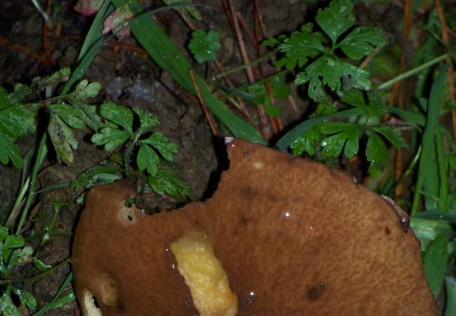 20:55 Marcas de los dientes del ratón de campo a las siete de esta tarde sobre una seta. Pero ¿cuáles hizo el ratón, y cuáles la babosa?