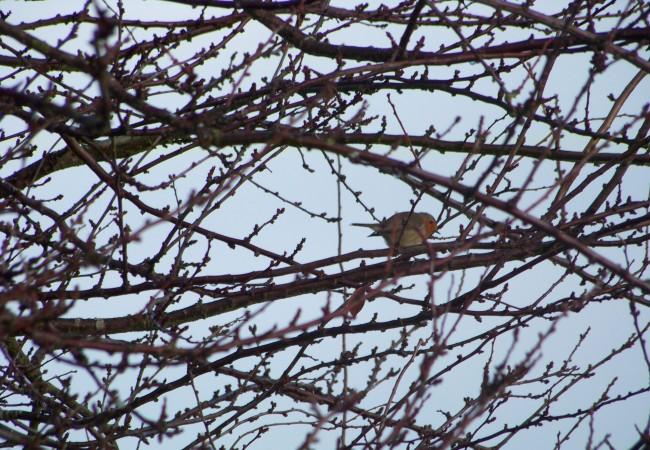10:16 La foto es de ahora mismo, el petirrojo que está cantando y a la vez de un lado a otro en las ramas.