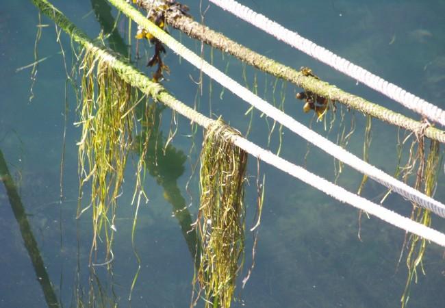 9:49 del Jueves 6 de Noviembre de 2008Ayer por la mañana, estuvo tan baja la marea, que los cabos con los que se amarran los botes, tenían estos mechones de algas, puestos a secar al sol, por el agua que se había marchado.