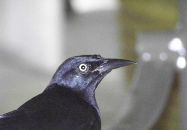 4:48 del Viernes 14 de Noviembre de 2008  Este cuervo en miniatura, de ojos amarillos, es  el ave con menos miedo al hombre que yo he visto en mi vida.