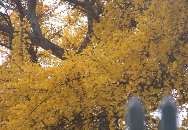 9:28 del Lunes 24 de Noviembre de 2008  Ahora mismo está el vendaval llevándose las hojas de los árboles. Le ha precedido el vuelo de los charranes hacia el interior, anunciando que se acercaba por el mar un temporal de viento y frío.