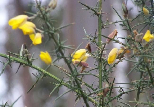17:46 del Lunes 8 de Diciembre de 2008  Decía Camilo José Cela que el tojo era la flor más gallega. Alumbra los montes de amarillo cuando los días son más oscuros aunque, en vez de hojas, tiene pinchos.