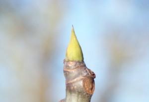 Uña verde de la higuera / Aceytuno