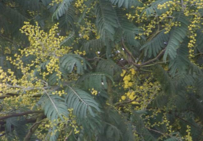 9:58  del Miércoles 7 de Enero de 2008  Está el día tan oscuro, que he salido para fotografíar de nuevo las mimosas y he tenido que elegir al final esta foto que ya tenía de ayer.