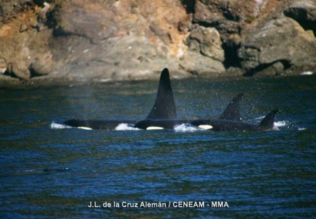 8:35 del Martes 27 de Enero de 2009  Estas orcas de la fotografía cuyo autor es José Luis de la Cruz Alemán, son de archivo, pero aquí las vamos a tener recién retratadas por los biólogos de TURMARES TARIFA cada vez que las avisten por
