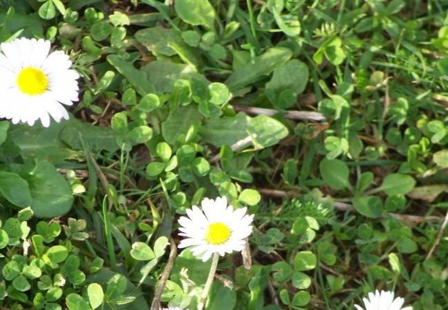 8:28 del Lunes 2 de Febrero de 2009  Buenos días. Estas, en apariencia, inocentes y pequeñas margaritas, flores compuestas, que ayer, a mediodía, miraban al sol, cumplen a la perfección la selección natural de Darwin.