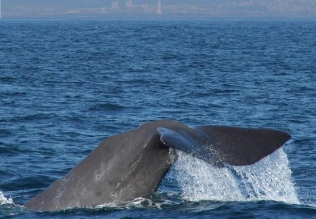 """Buenas. Según nos dijo la presidenta de Whale Watch España, Lourdes Isasa López, se ven cachalotes todo el año, """"esos gigantes de 18 metros de largo"""", en el Estrecho de Gibraltar."""