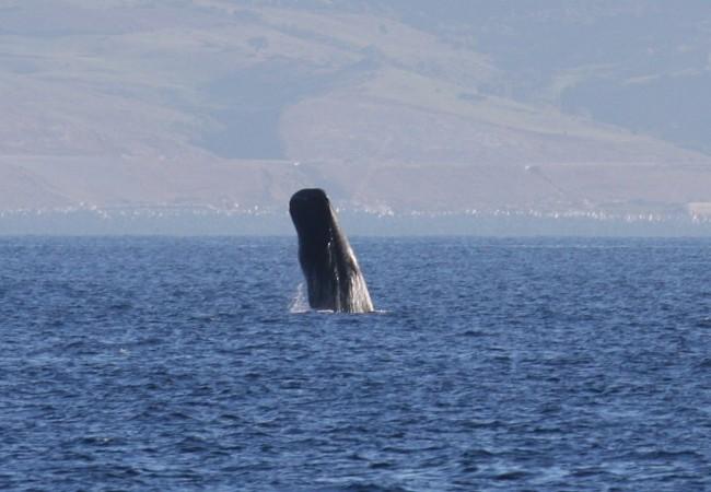 13:40  Lo que escribimos aquí ayer, gracias a la información de Whale Watch España, lo confirman también ahora los investigadores de Turmares: los cachalotes permanecen también en invierno en las aguas del Estrecho de Gibraltar.