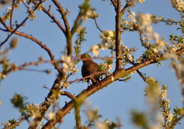 8:31  Como si fuera imposible que los días fueran tan seguidos, no se parece en nada este día al de ayer, cuando vi a esta mirla entre las ramas del ciruelo japonés florecido.