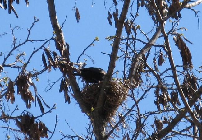 17:05  Ha hecho tanto frío en Cáceres este año, que hay acacias que aún no han echado las hojas, mientras los mirlos, fieles a su costumbre de seguir al fotoperiodo (el número de horas de luz),han hecho el nido entre las ramas desnudas
