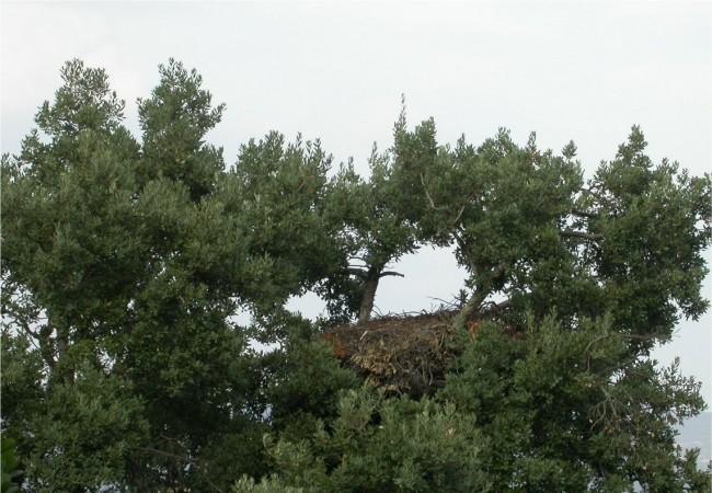 """14:22  Según acaba de informar Jorge Bonache López,Técnico Superior, desde el Parque Nacional de Cabañeros, ya ha realizado la puesta en el nido el Águila Imperial Ibérica, """"y lo más probable es que las crías nazcan en unas pocas semanas""""."""