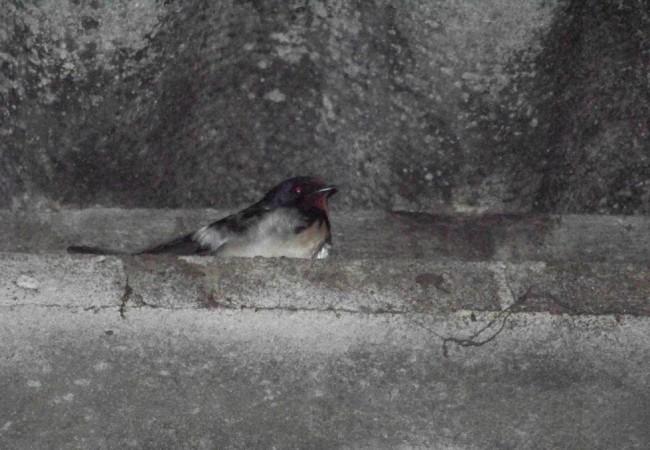 8:26  Buenos días. Esta golondrina estaba anoche en una viga de la cuadra que tienen mis vecinos.
