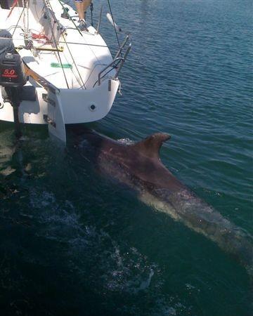 00:08  Así hace el delfín que está desde anteayer en el puerto coruñés de Sada, donde se pega a la popa de los veleros.