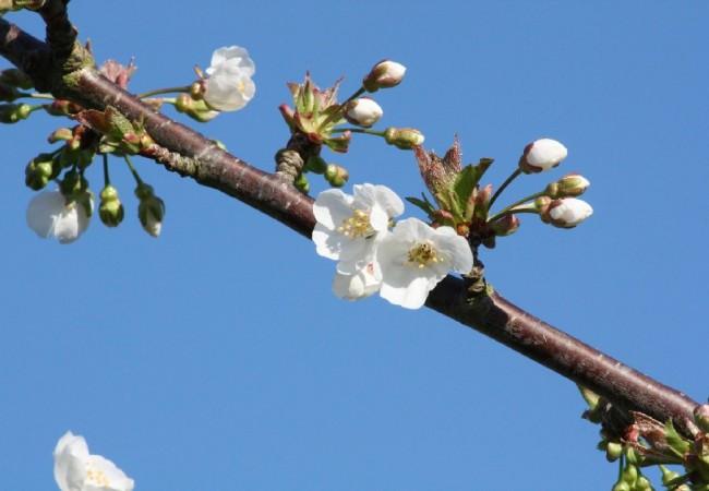 9:40  Buenos días.  Aún no he escuchado las noticias, pero, por si nadie lo dice, han florecido los cerezos.