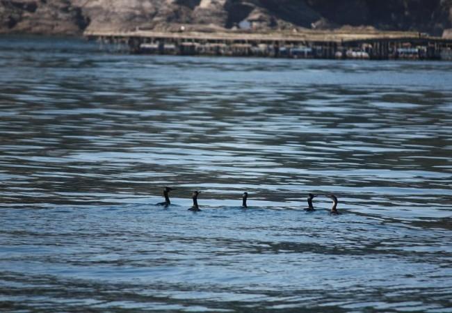 12:47  Buenos días de nuevo.  Nunca había visto a tantos cormoranes pescando juntos.
