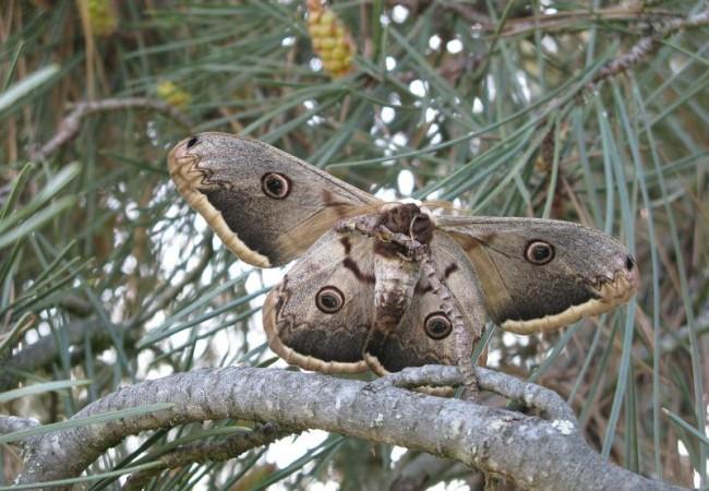 10:35  Esta magnífica fotografía, se corresponde con el encuentro ayer de una lectora con la mayor mariposa nocturna europea, el Gran Pavón de Noche (Saturnia pyri).