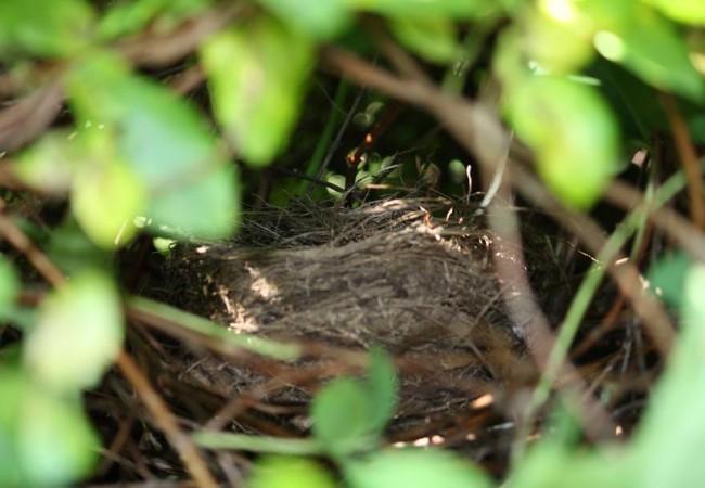 11:20  Los nidos de mirlo que yo encuentro suelen estar a la altura de mis ojos, pero tan escondidos que no los veo.